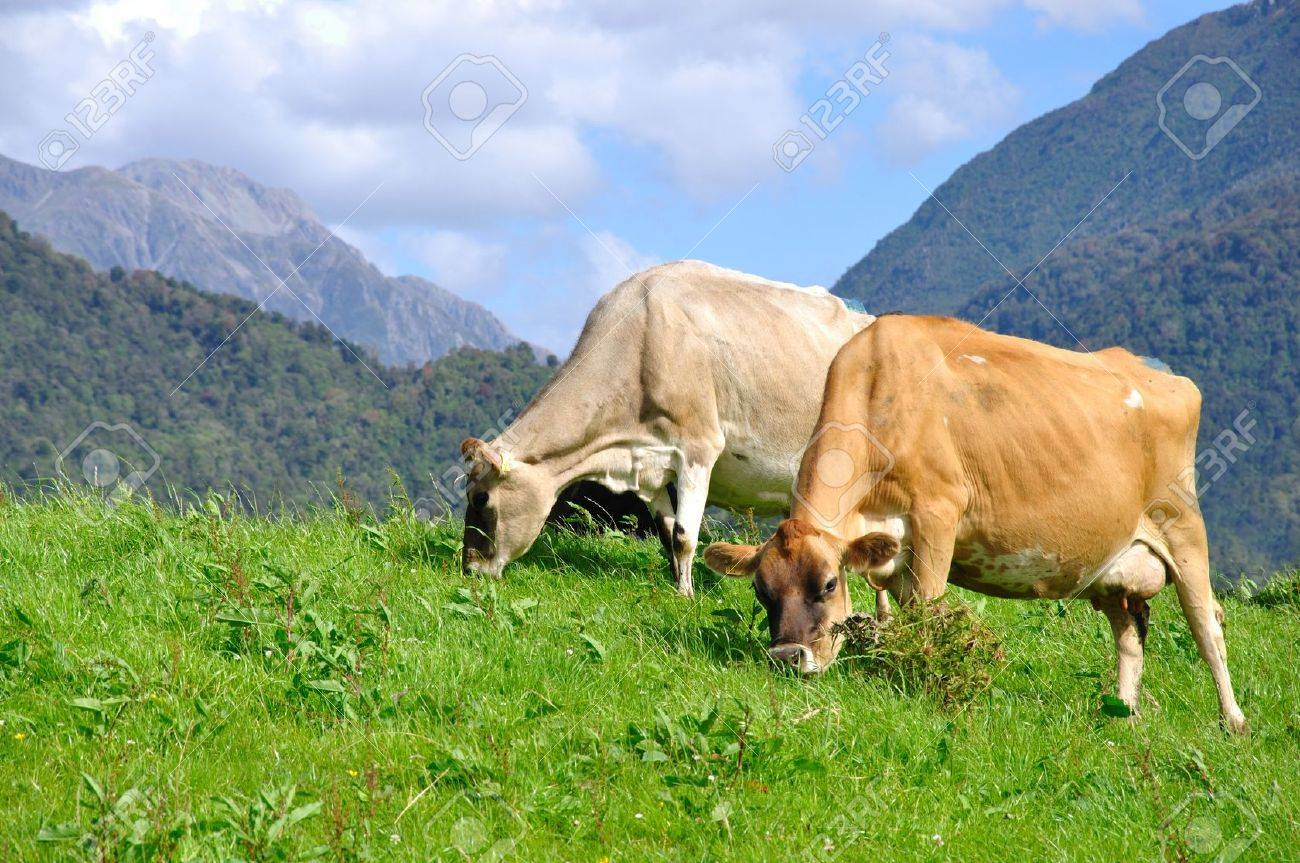 Jersey cows on pasture, Westland, New Zealand Stock Photo - 15007359