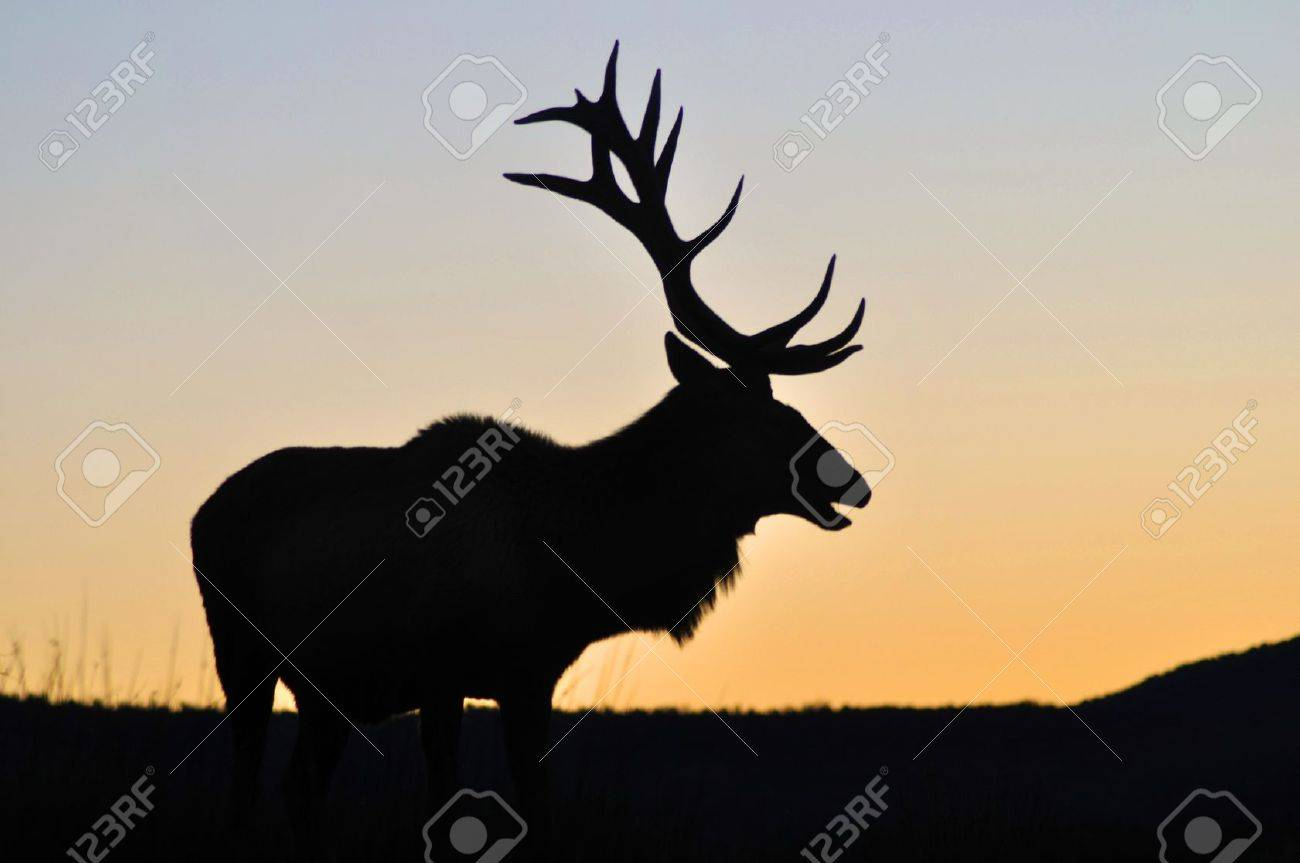 red deer stag at sunset, West Coast, South Island, New Zealand Stock Photo - 15118132