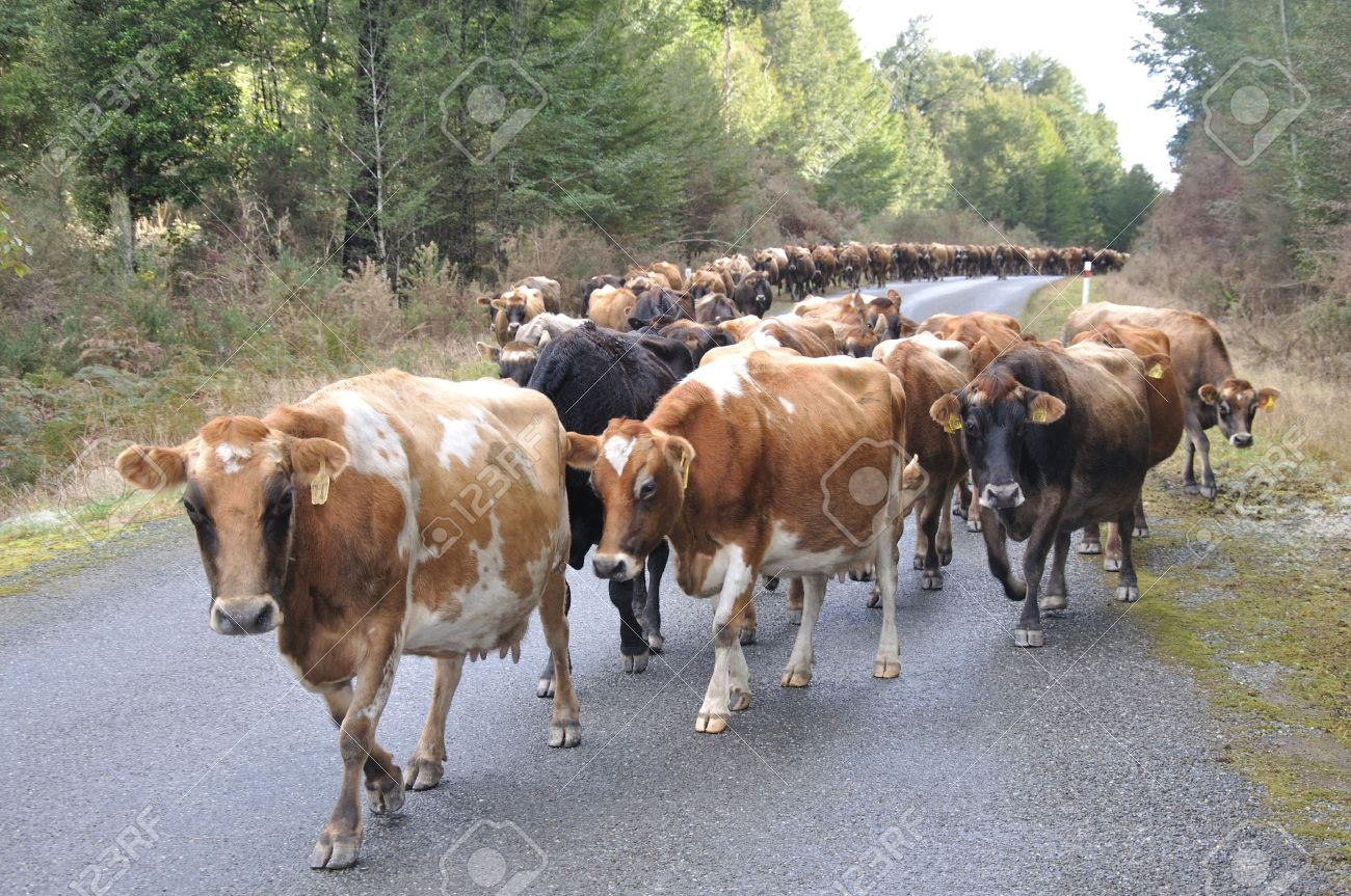 Jersey cows on the main road, walking between farms, Westland, New Zealand Stock Photo - 15118334