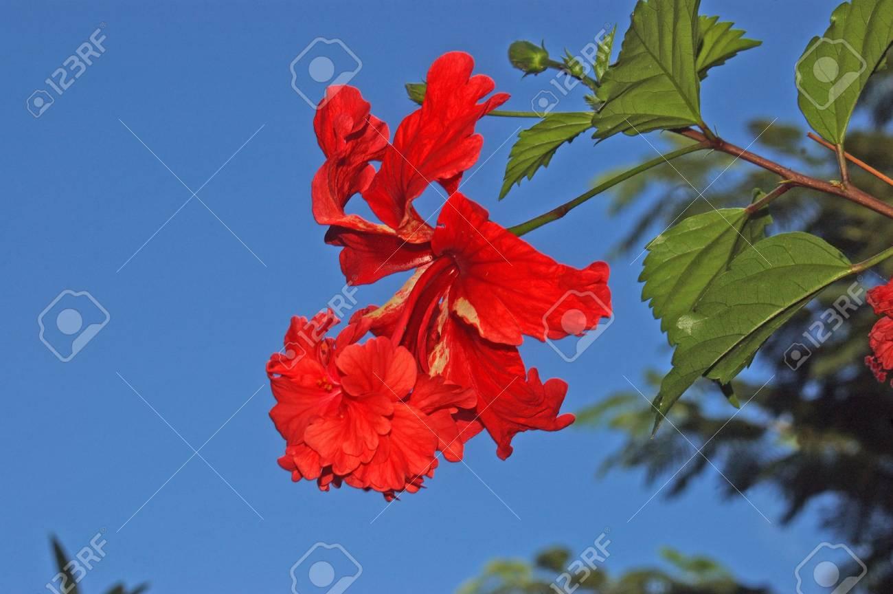 Red double hibiscus growing in tamil nadu india stock photo red double hibiscus growing in tamil nadu india stock photo 17493942 izmirmasajfo