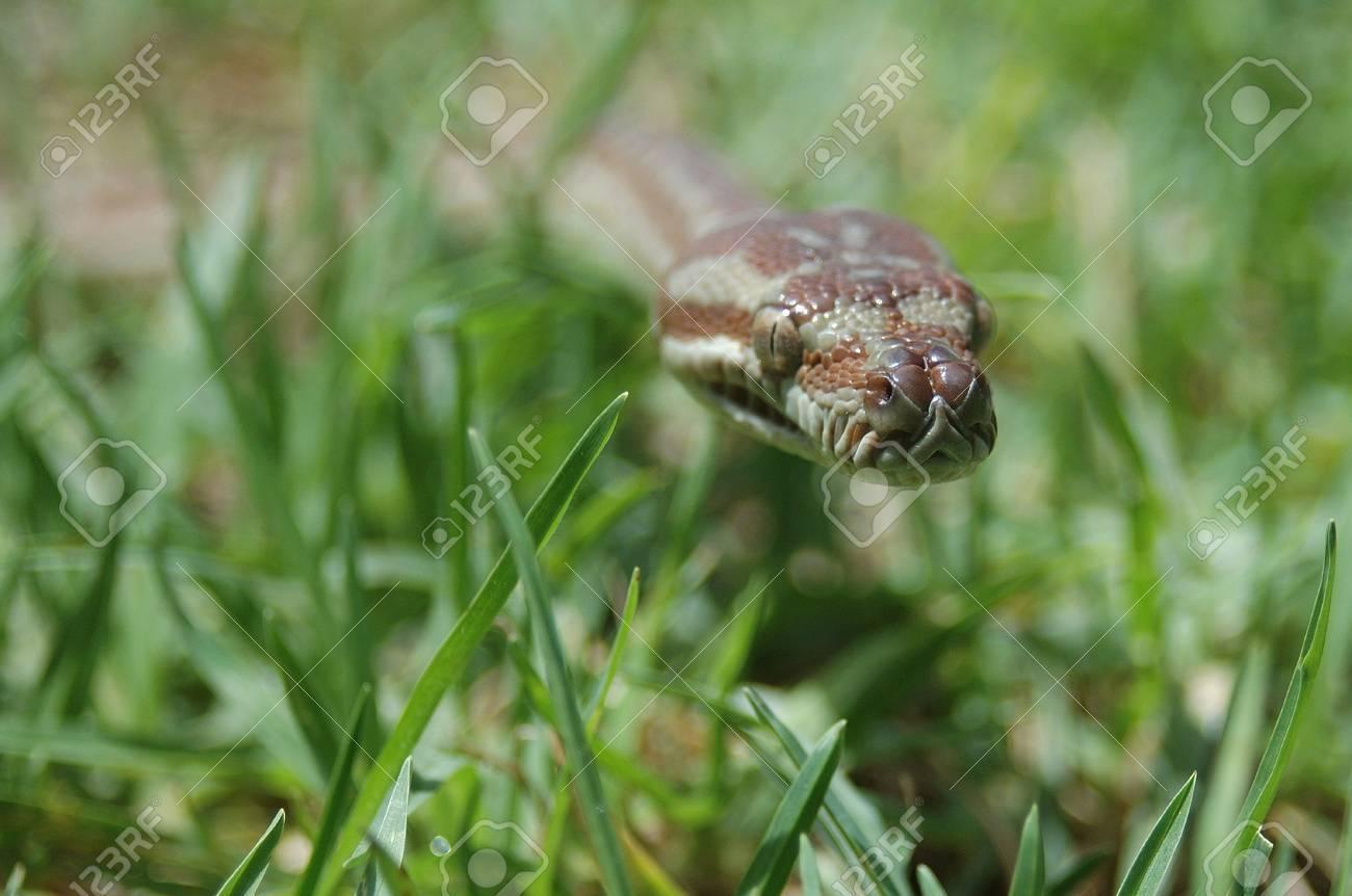 Australian Central Carpet Python, Morelia bredli, in the grass Stock Photo - 17590798