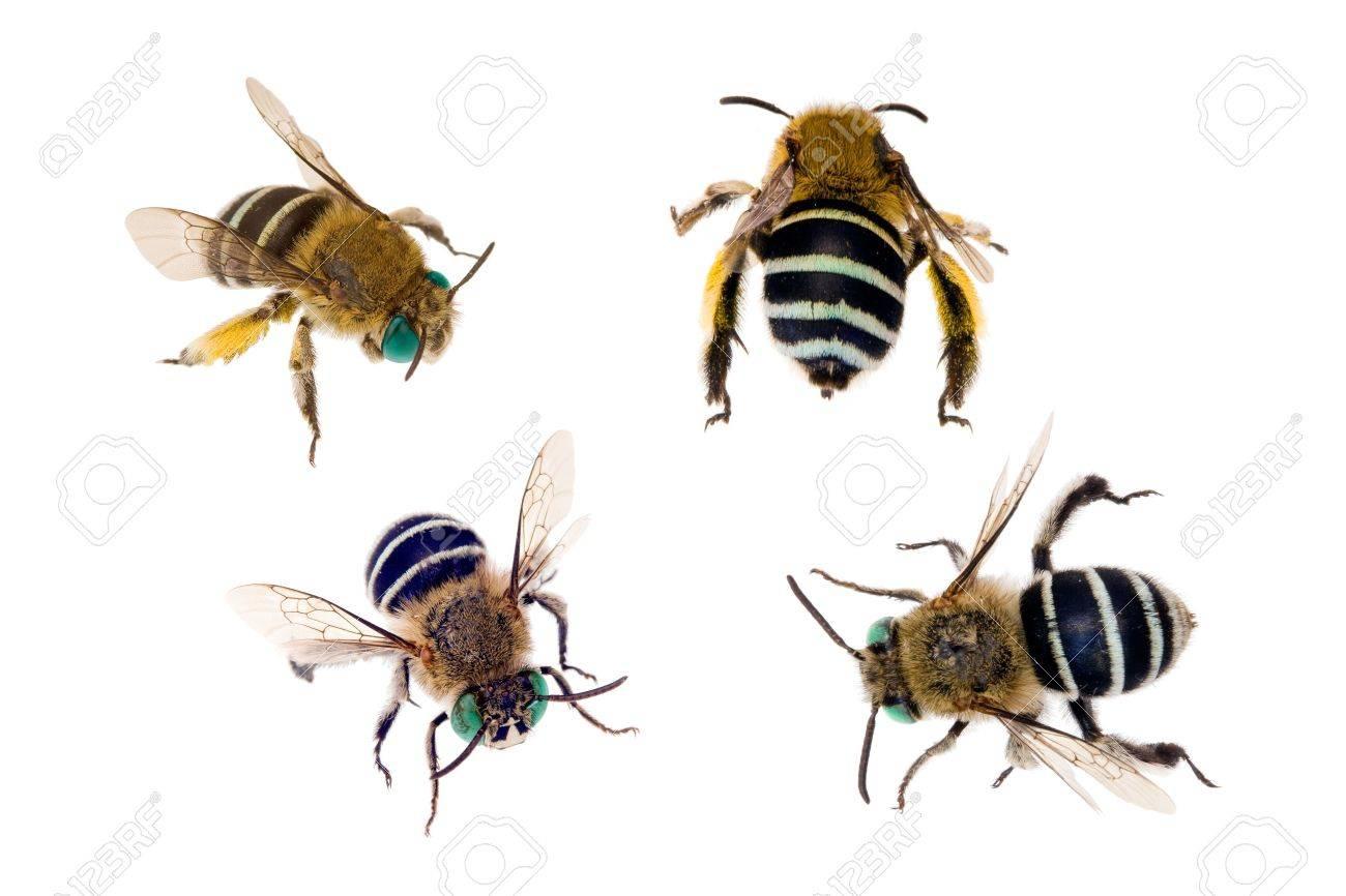 Bees Blue Blue-banded Bee Amegilla