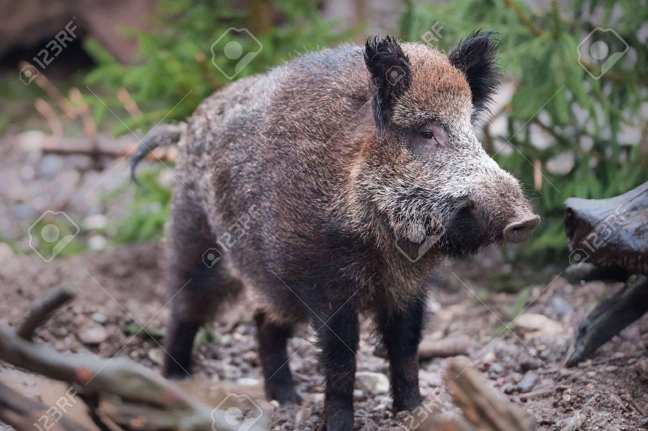 Wild boar (lat. Sus scrofa) standing in the woods Stock Photo - 6374852