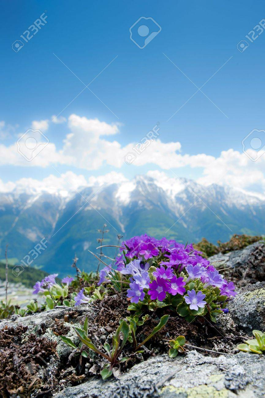 Pink Alpine Flowers In Spring On A Rock With Mountain Panorama