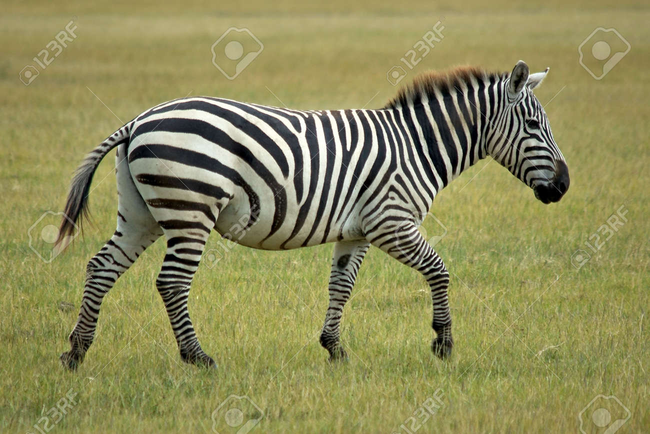 Single African Zebra Stock Photo, Picture And Royalty Free Image ...
