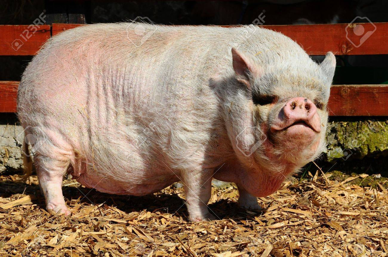 Vietnamese Pot-bellied pig Stock Photo - 10898530