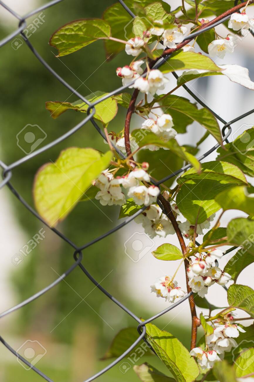 Actinidia climbing plant with flowers on the fence - 125785214