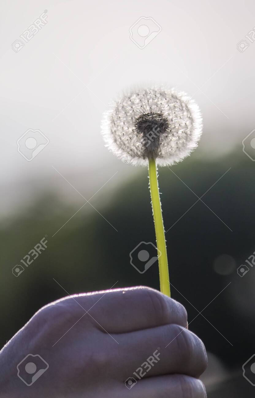the fluffy silhouette of a dandelion in the evening sunlight. - 149866288