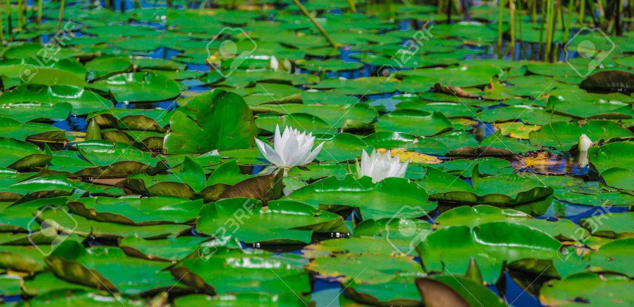 Many lily pads and lotus flowers floating on the water in a lake in the wild