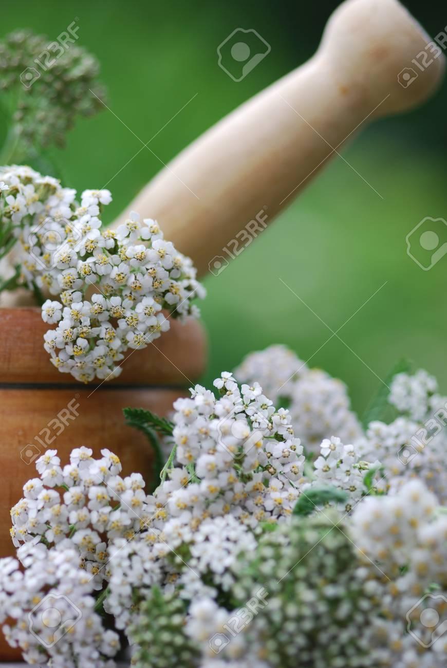 achillea millefolium herb medicine Stock Photo - 13419677