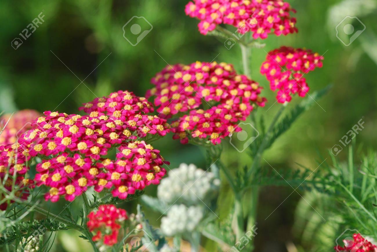 achillea millefolium herb medicine Stock Photo - 13419683