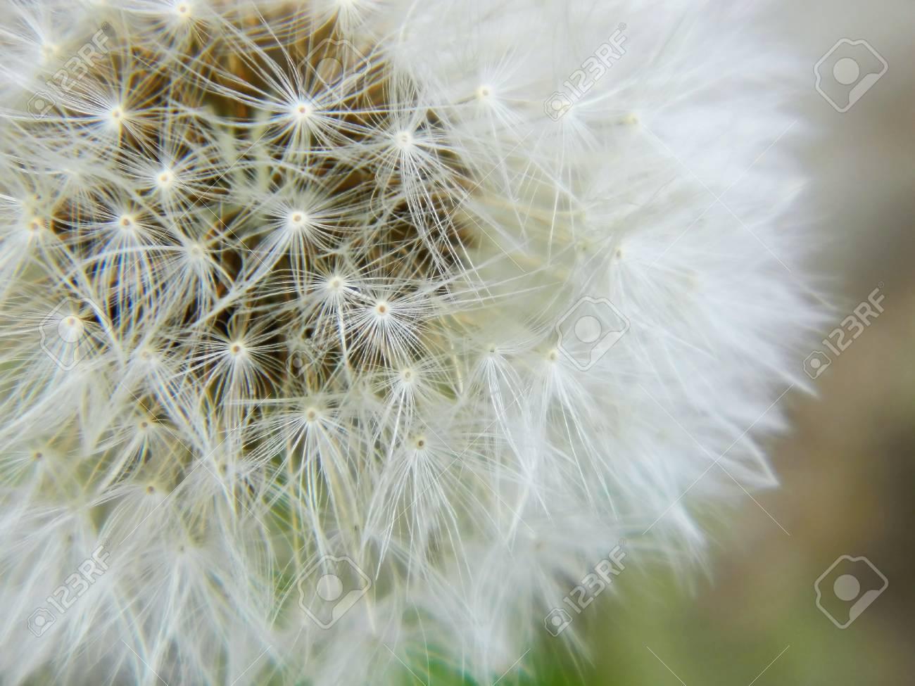 Dandelion seed outdoors - 13991793