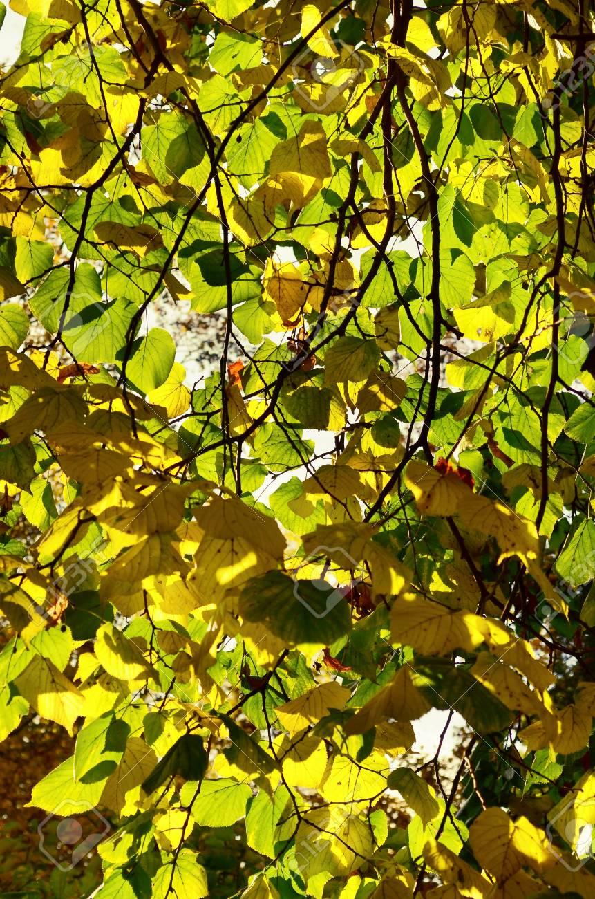 Autumn beech leaves - 24259857