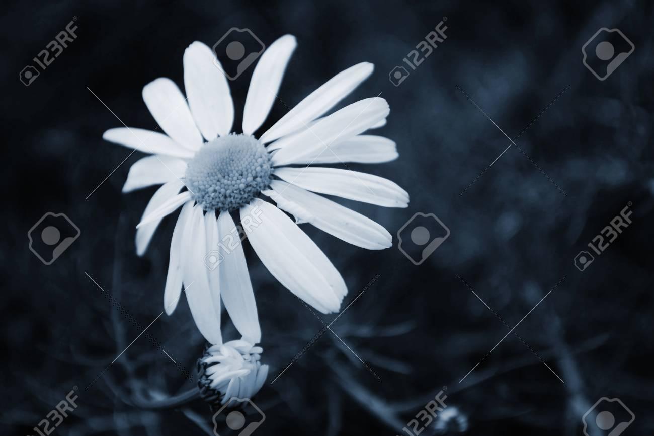 white daisies - 24259861