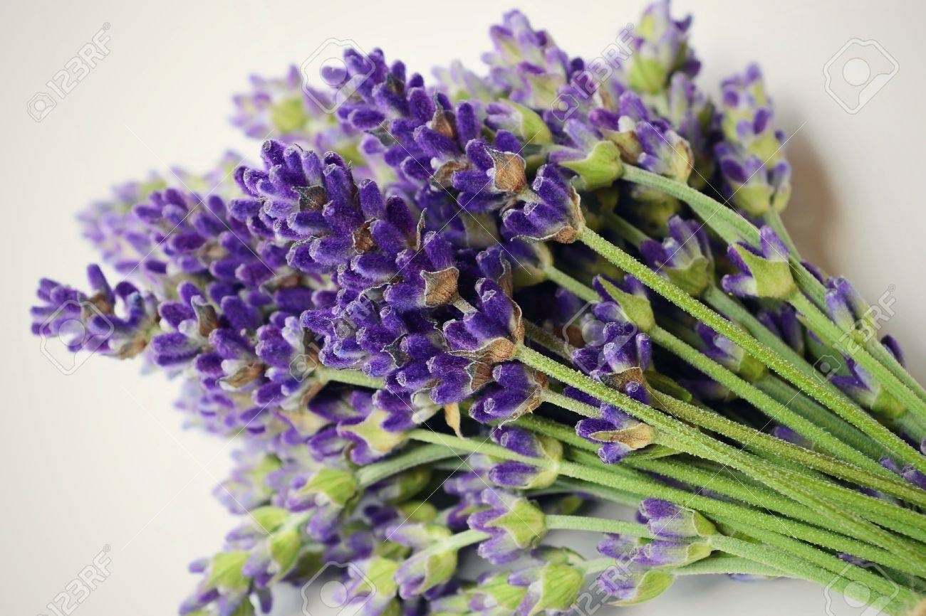 Bunch of lavender on a white background. - 48739778