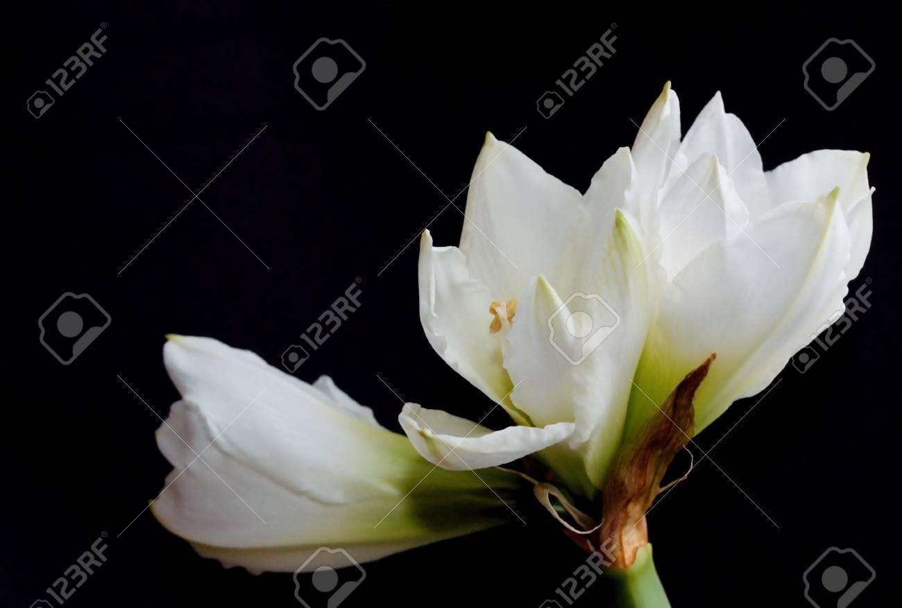 White flower on black background - 96812889