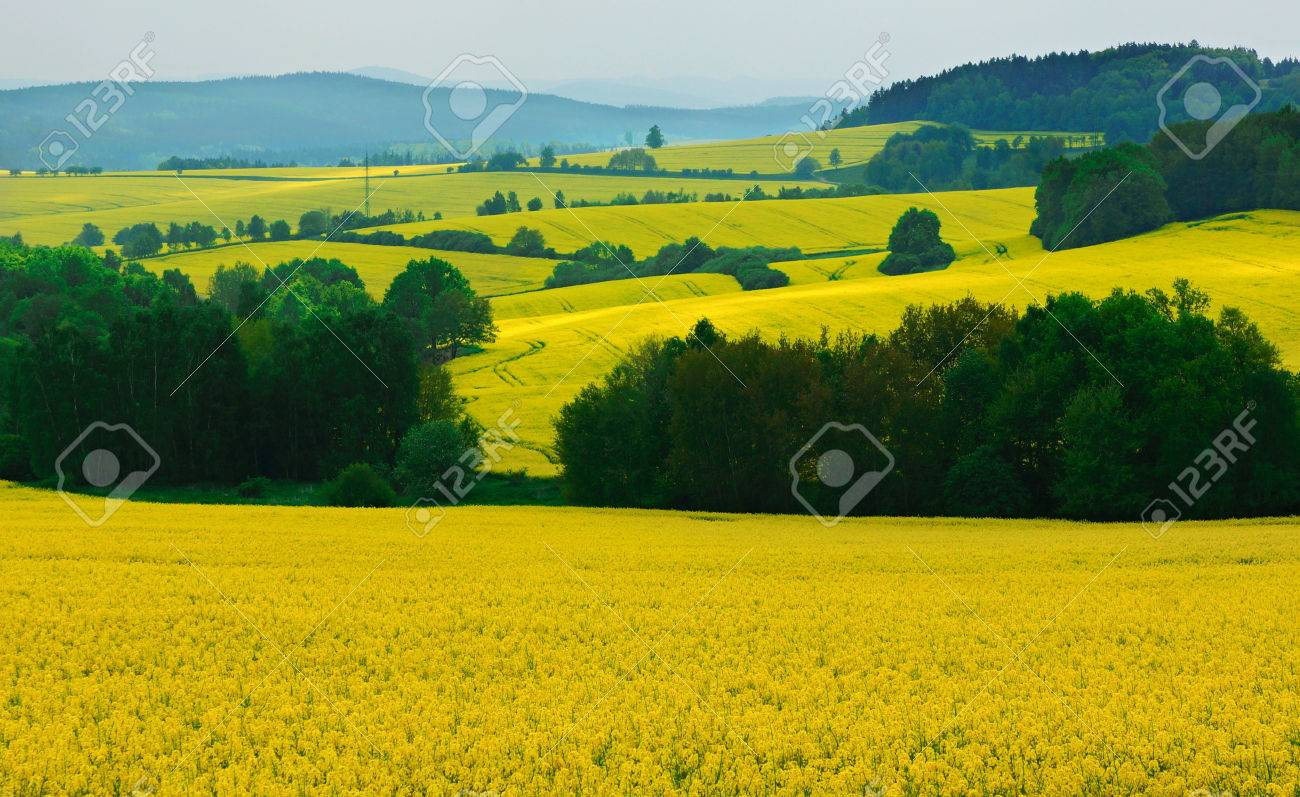Beautiful Scenery With Yellow Rapeseed Flowers In Field Stock Photo