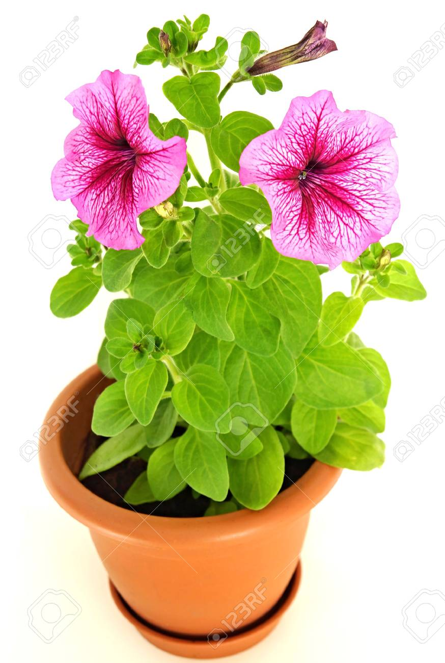 Beautiful Young Plant Pink Petunia In Flower Pot Stock Photo