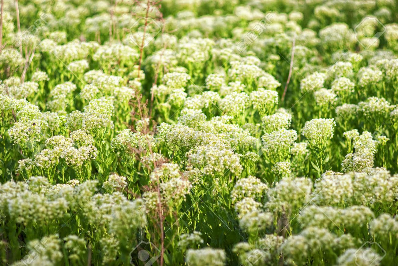 Las Pequenas Flores Silvestres Blancas Fotos Retratos Imagenes Y