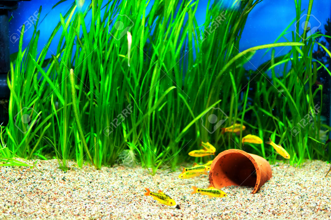 Fish for aquarium plants - Group Of A Small Gold Barb Fish In An Aquarium Stock Photo 12539963