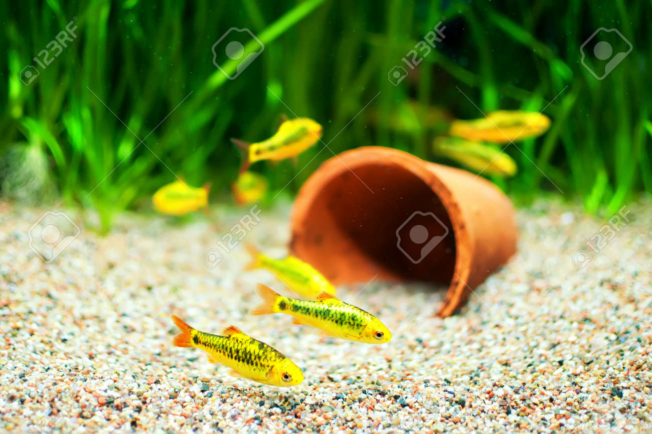 group of a small gold barb fish in an aquarium stock photo