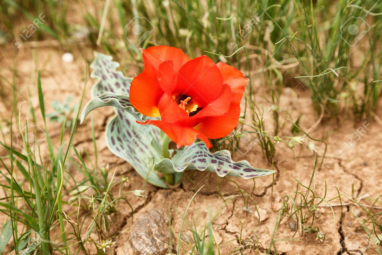 tulipe kazakhstan