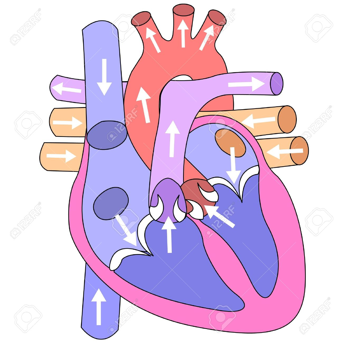 Human heart and vessels on a white background Stock Vector - 9333680