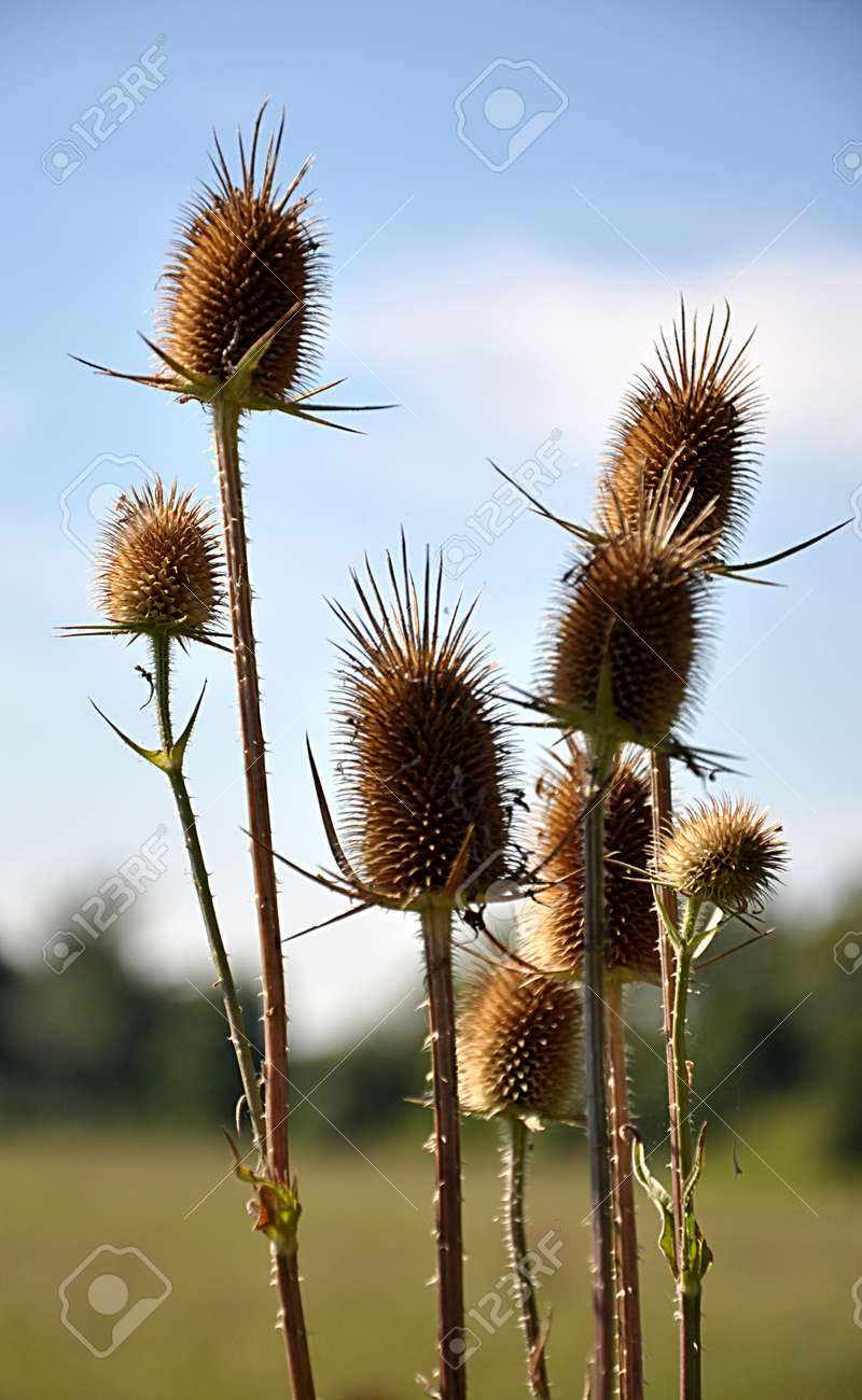 dry thistle in the countryside - 167119109
