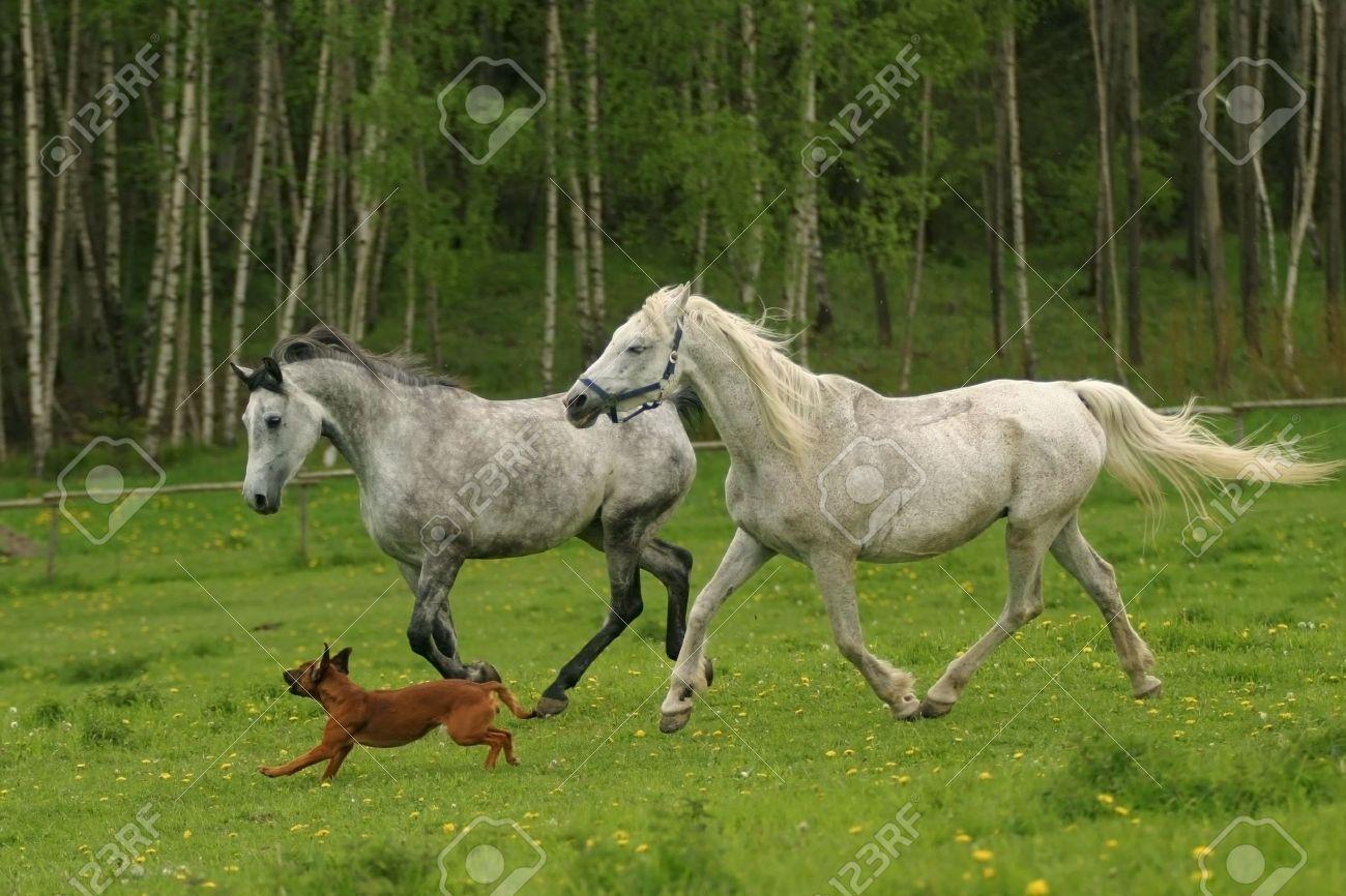 Running Arabian Horses And Dog Shagya Arab White Horse Stock Photo Picture And Royalty Free Image Image 2812758
