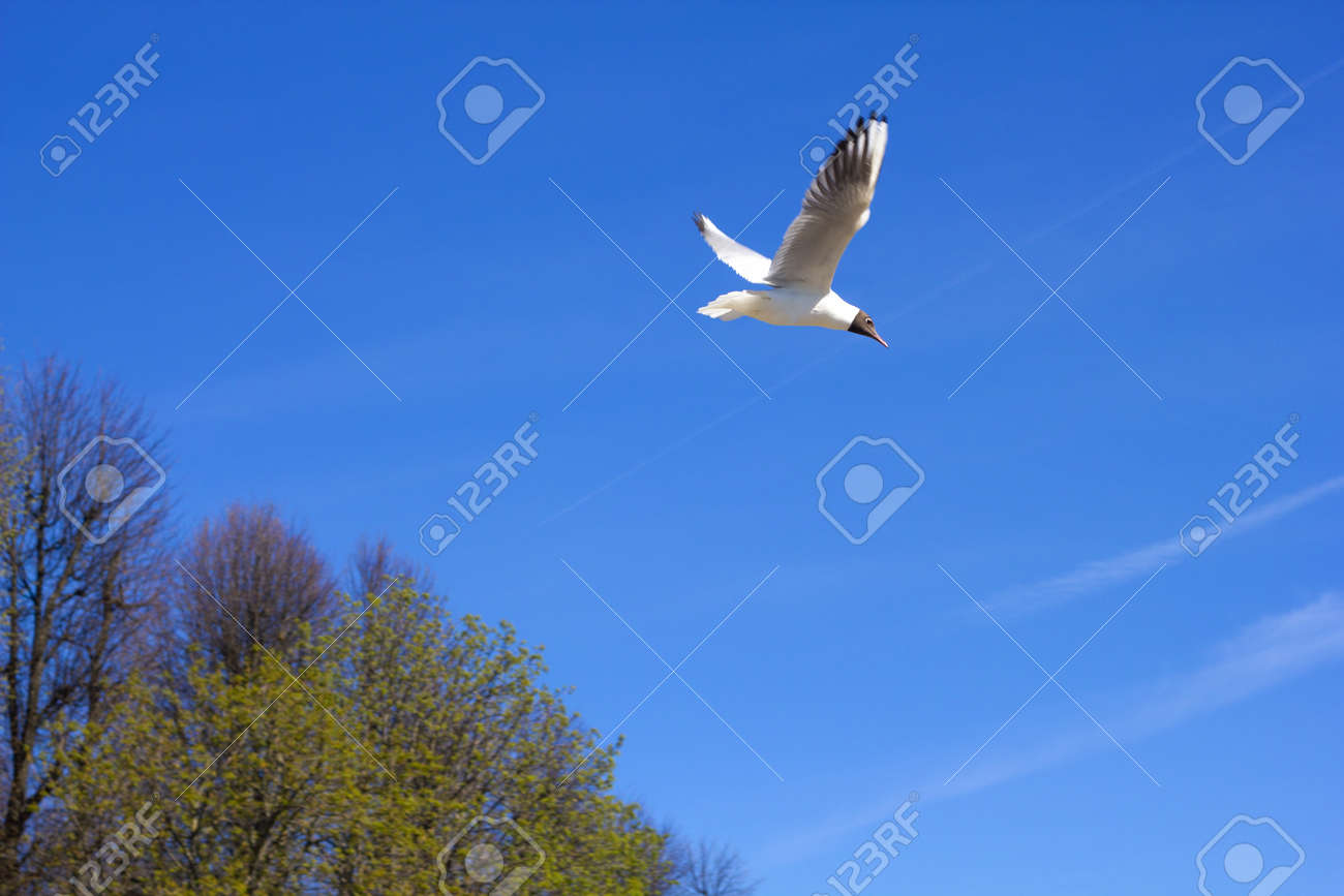 A beautiful seagull on a blue sky background on a sunny day. Volga white gull. - 170430020