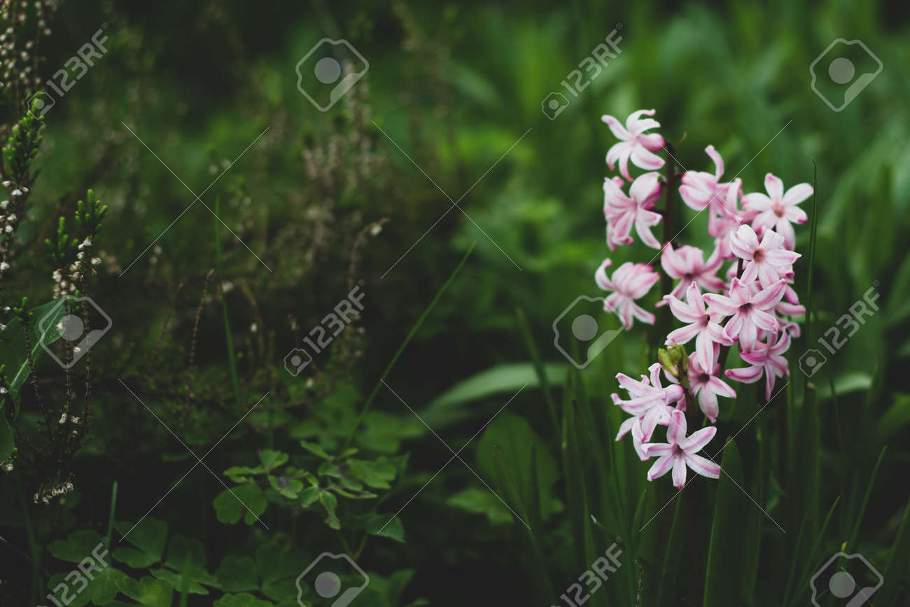 Pink hyacinth on a background of green grass. Nature background. Delicate pink hyacinth flower. Spring flora blooming hyacinth. Rosalia flower variety. Hyacinth variety China Pink. - 170430289
