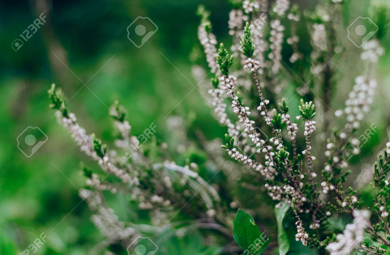 Blooming heather Calluna vulgaris on a green background. Nature background. Blurry abstract defocuse heather on a nature background copy text space. - 170884549