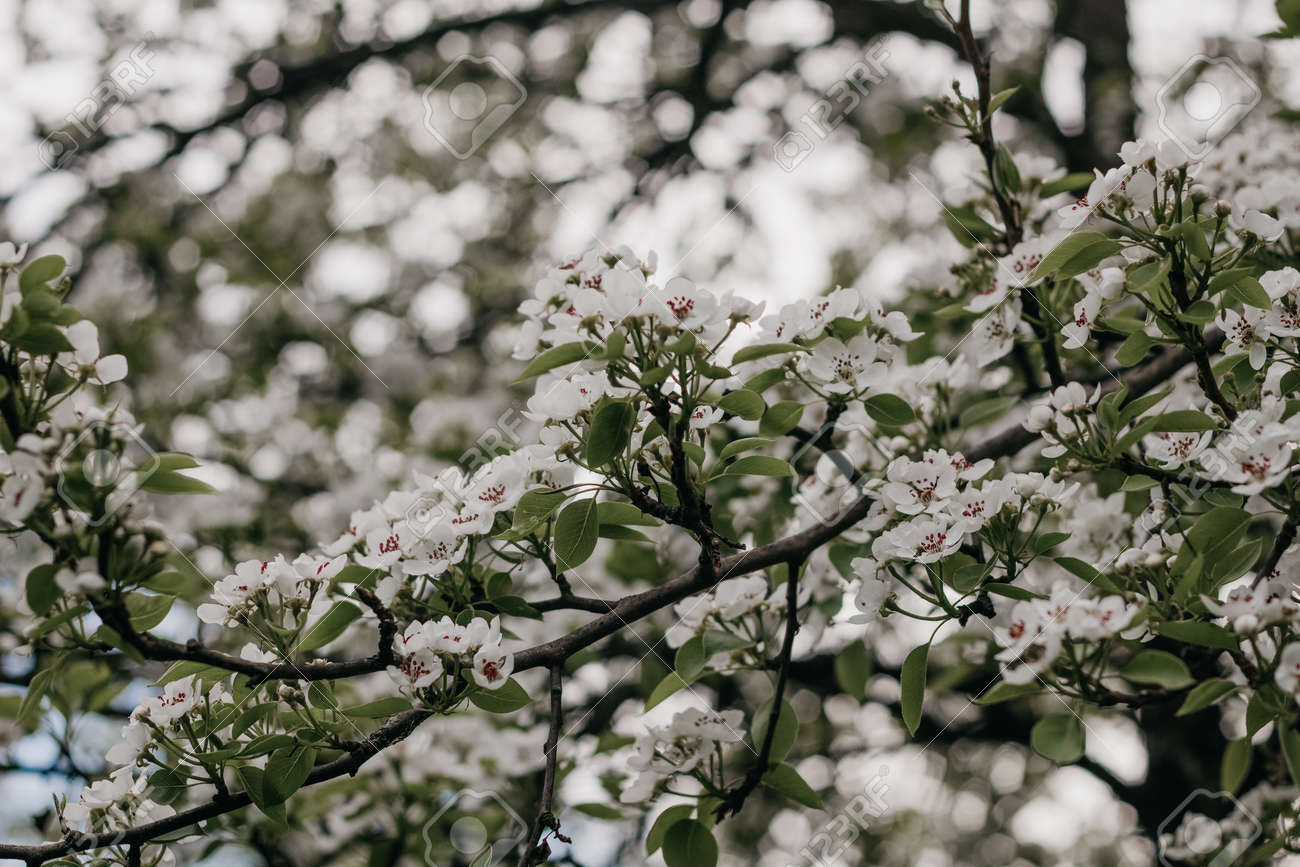 Blooming Apple tree. White Apple blossoms on a branch close-up. Nature floral background. Live wall of flowers in a spring garden. Copy space. - 170884478
