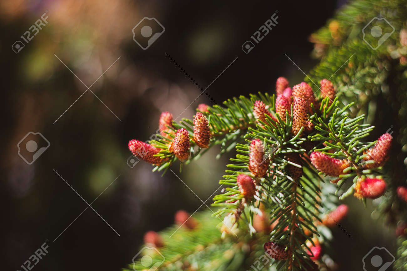 Blooming spruce. Red young shoots on a pine tree. Flowering branch of a fir tree. Young shoots on spruce. - 170884713