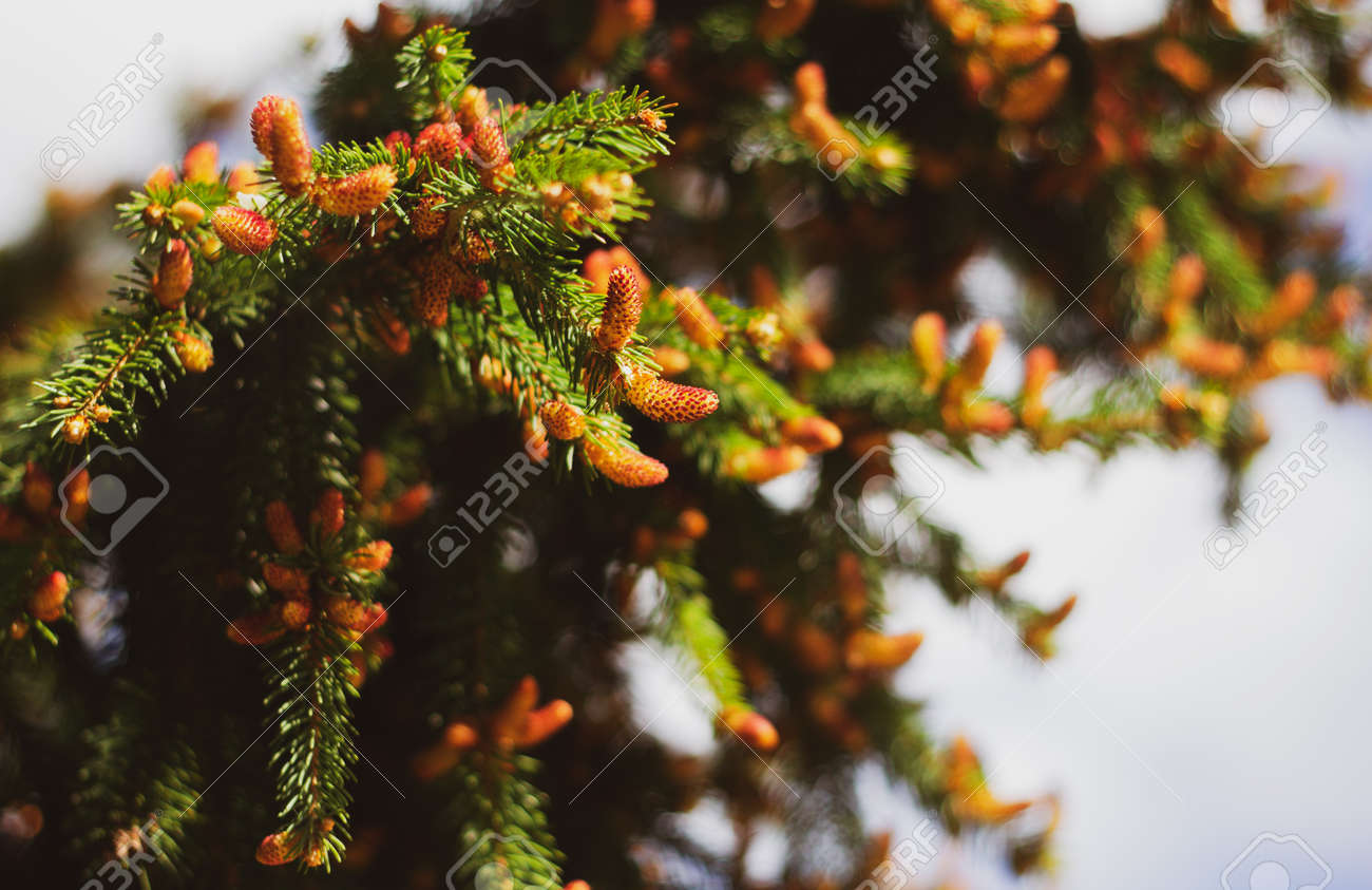 Blooming spruce. Red young shoots on a pine tree. Flowering branch of a fir tree. Young shoots on spruce. - 170884622