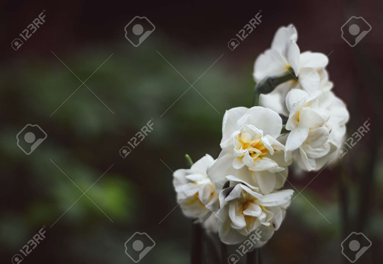 Narcissus Bridal Crown on a green blurred background. White narcissus close-up. Natural background narcissus flower copy space. - 170885708