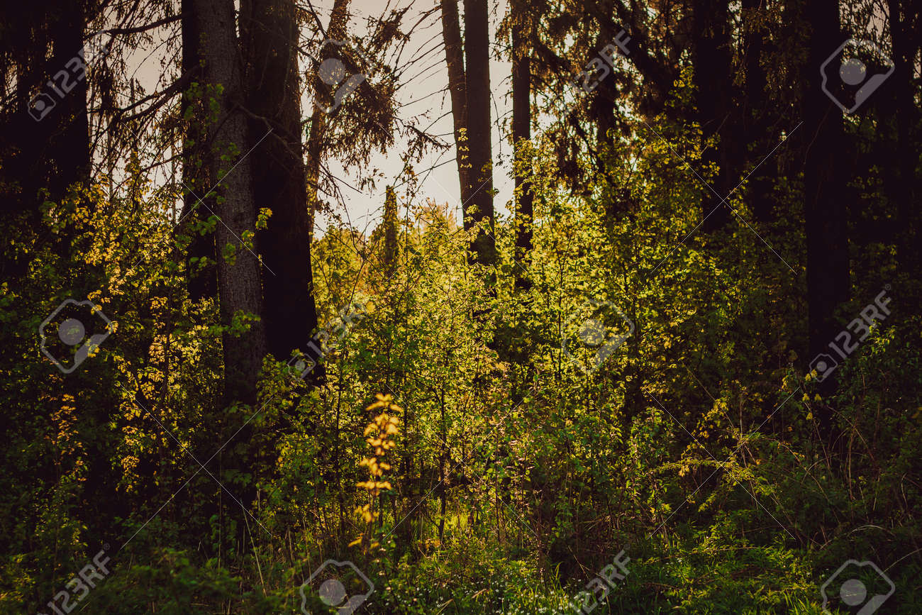 Beautiful forest landscape. Rays of the sun break through the branches of trees in the spring forest. - 170884403
