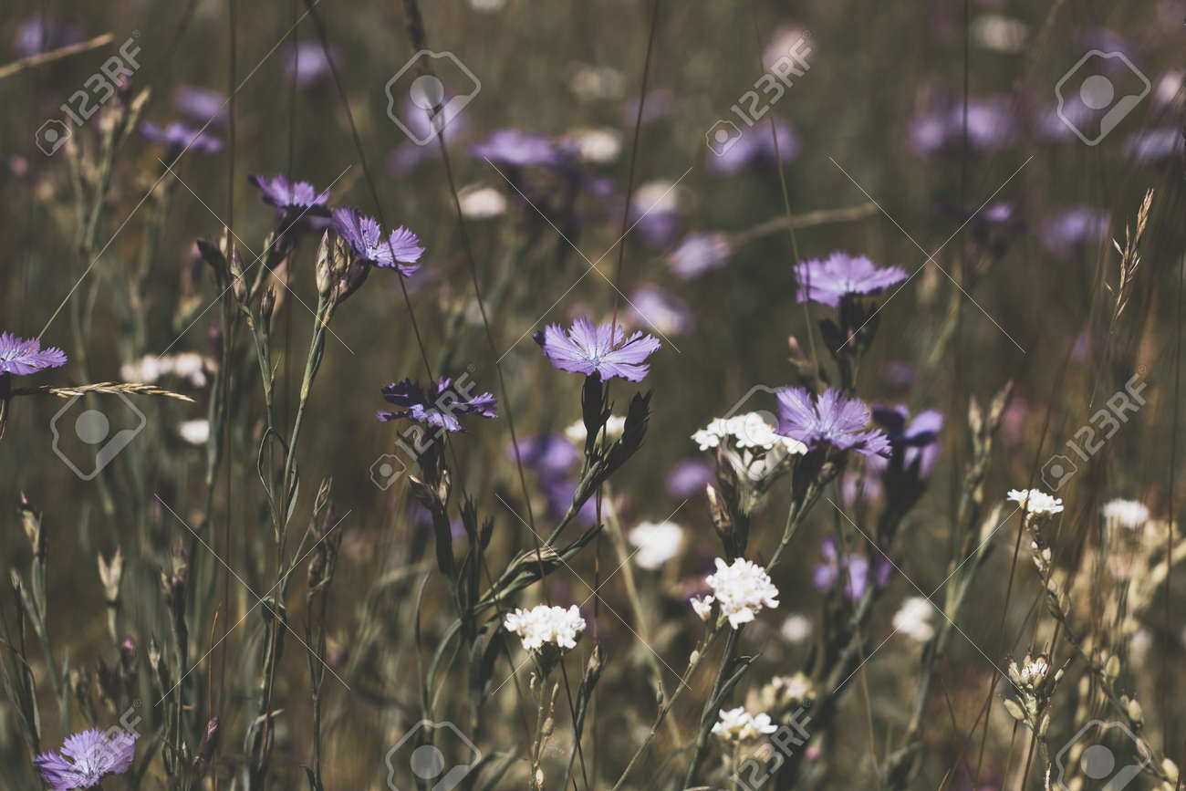 Nature floral background. CarnatiNature floral background. Carnation herb. Small pink wildflowers. Lilac cute flowers on a green grass background. - 171181775