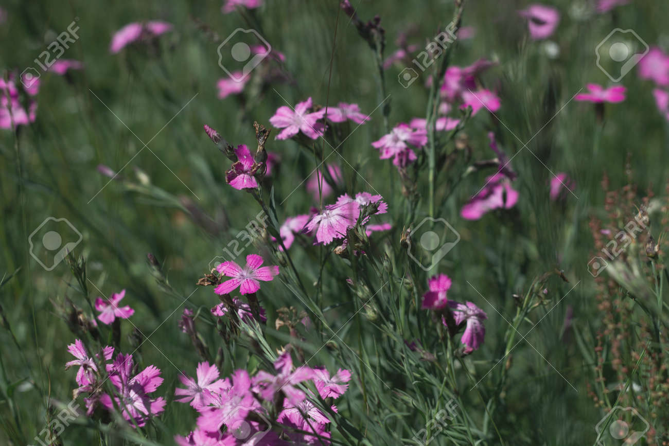 Nature floral background. CarnatiNature floral background. Carnation herb. Small pink wildflowers. Lilac cute flowers on a green grass background. - 171859554