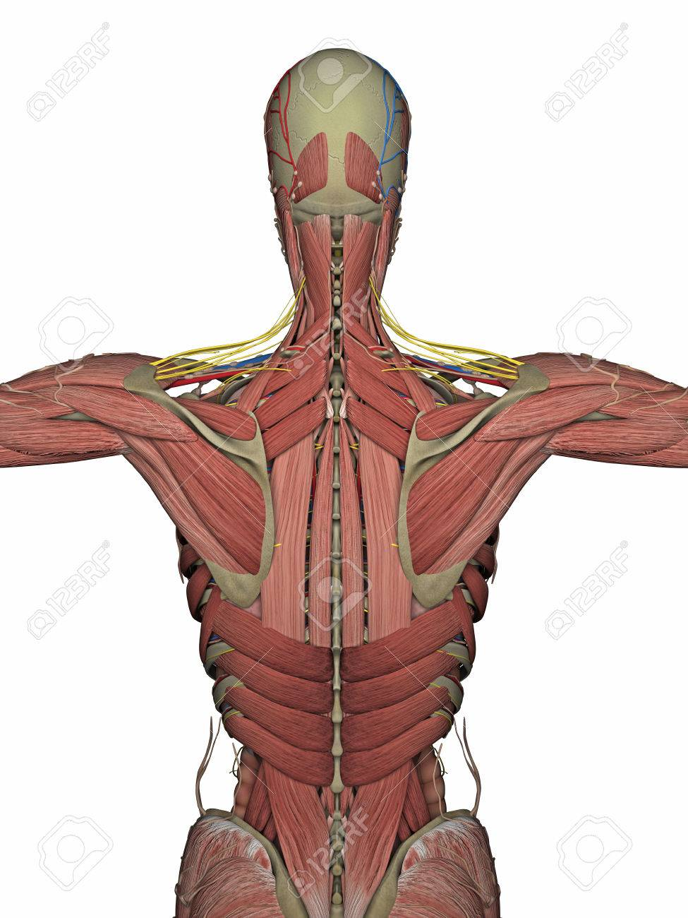Anatomy Back Without Skin Isolated On White. 3D Rendering Stock ...