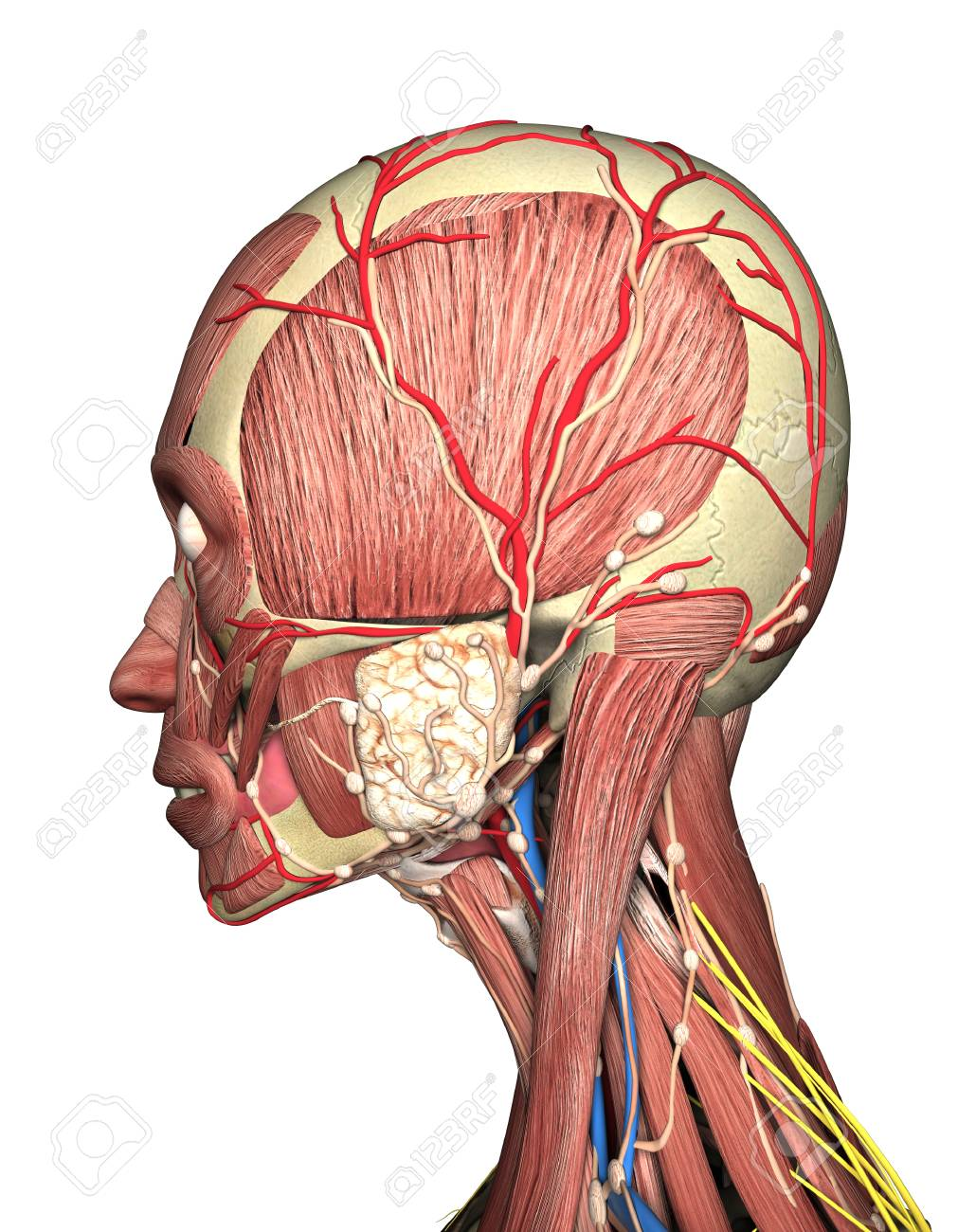 Anatomy Of Head Side View. 3D Rendering Stock Photo, Picture And ...