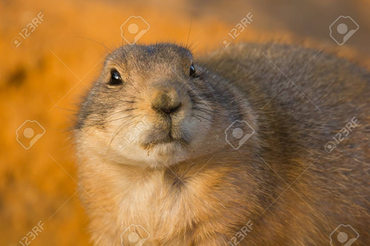 Prairie dog, dramatic look, on orange sand