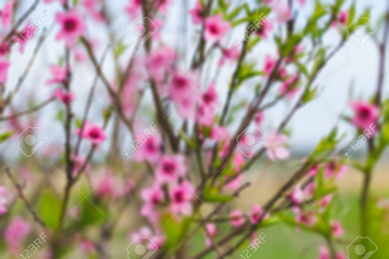 Peach Tree With Pink Flowers In Spring Day Stock Photo Picture And