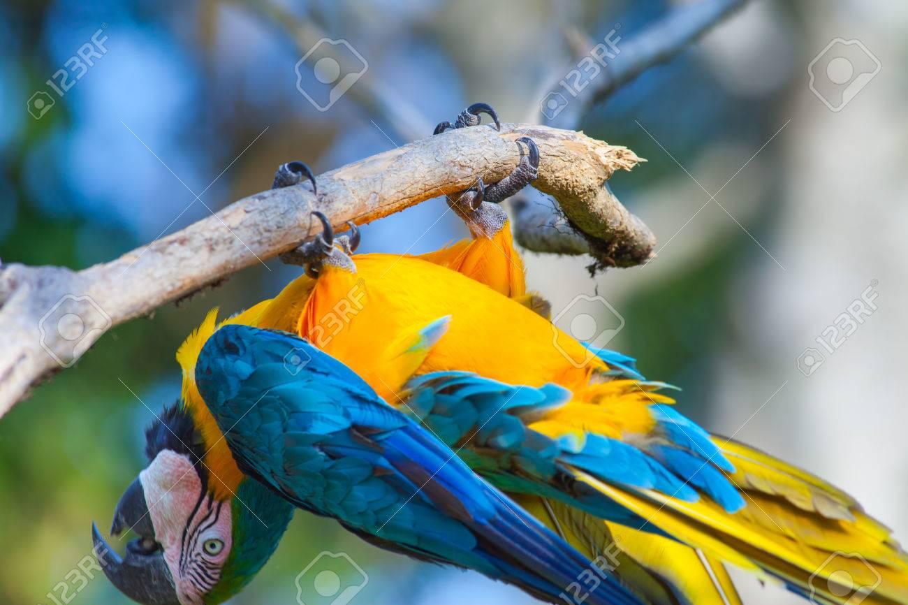 Wonderbaarlijk Blauwe Papegaai Pret Ondersteboven Op Bali Bird Park, Indonesië RB-06