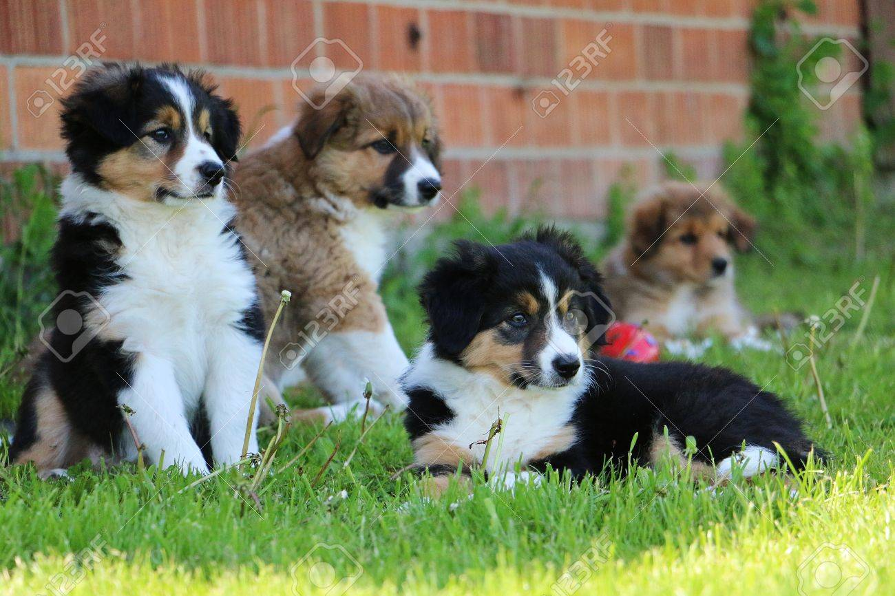 Border Collie Puppies Family Stock Photo Picture And Royalty Free
