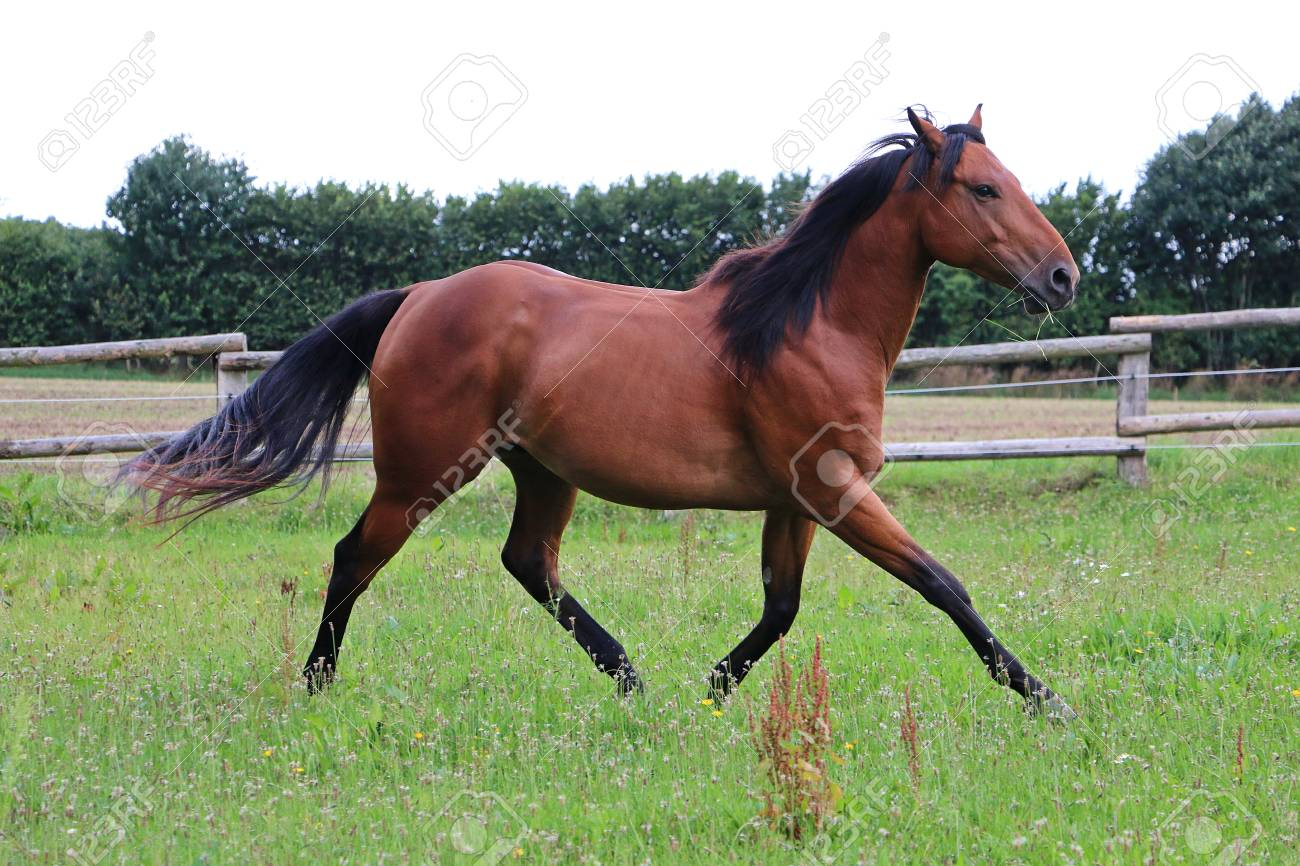 Running Brown Horse On The Paddock Stock Photo Picture And Royalty Free Image Image 87301024