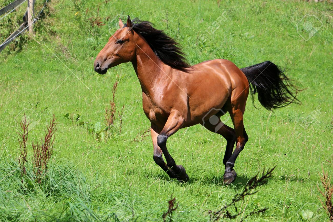 Running Brown Horse On The Paddock Stock Photo Picture And Royalty Free Image Image 87301031
