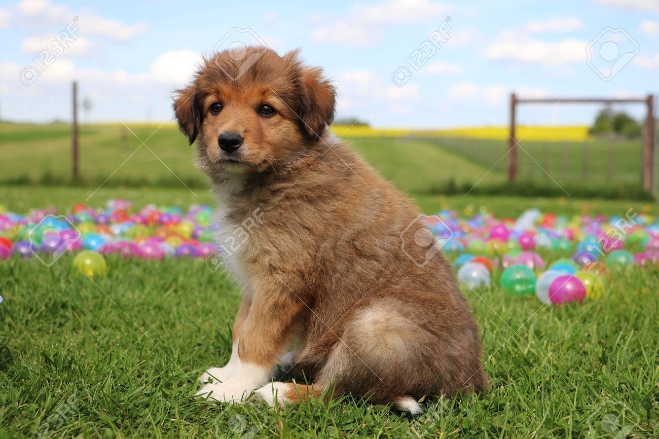 Brown Border Collie Puppy Is Sitting In The Garden Stock Photo ...