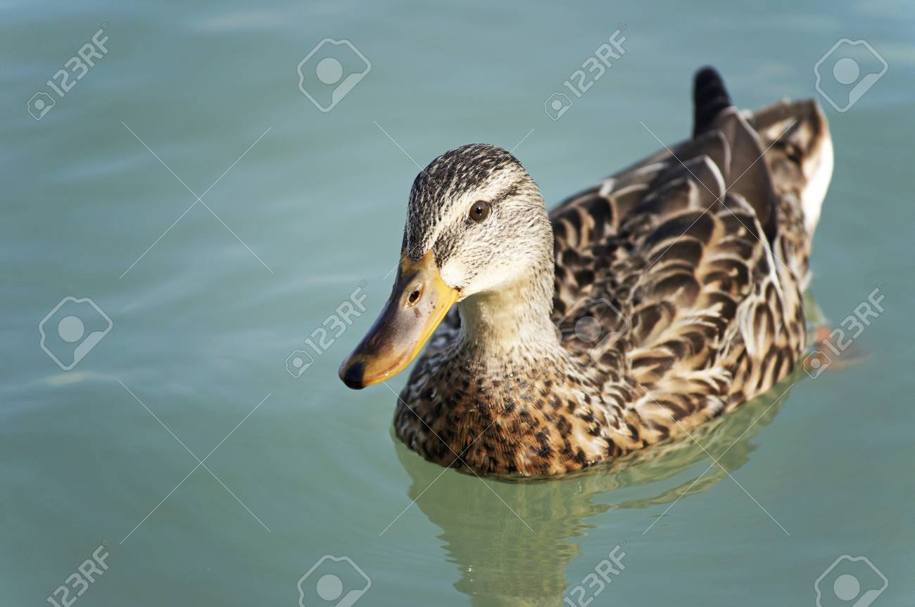 Wild duck is swimming closer to the camera Stock Photo - 12135860