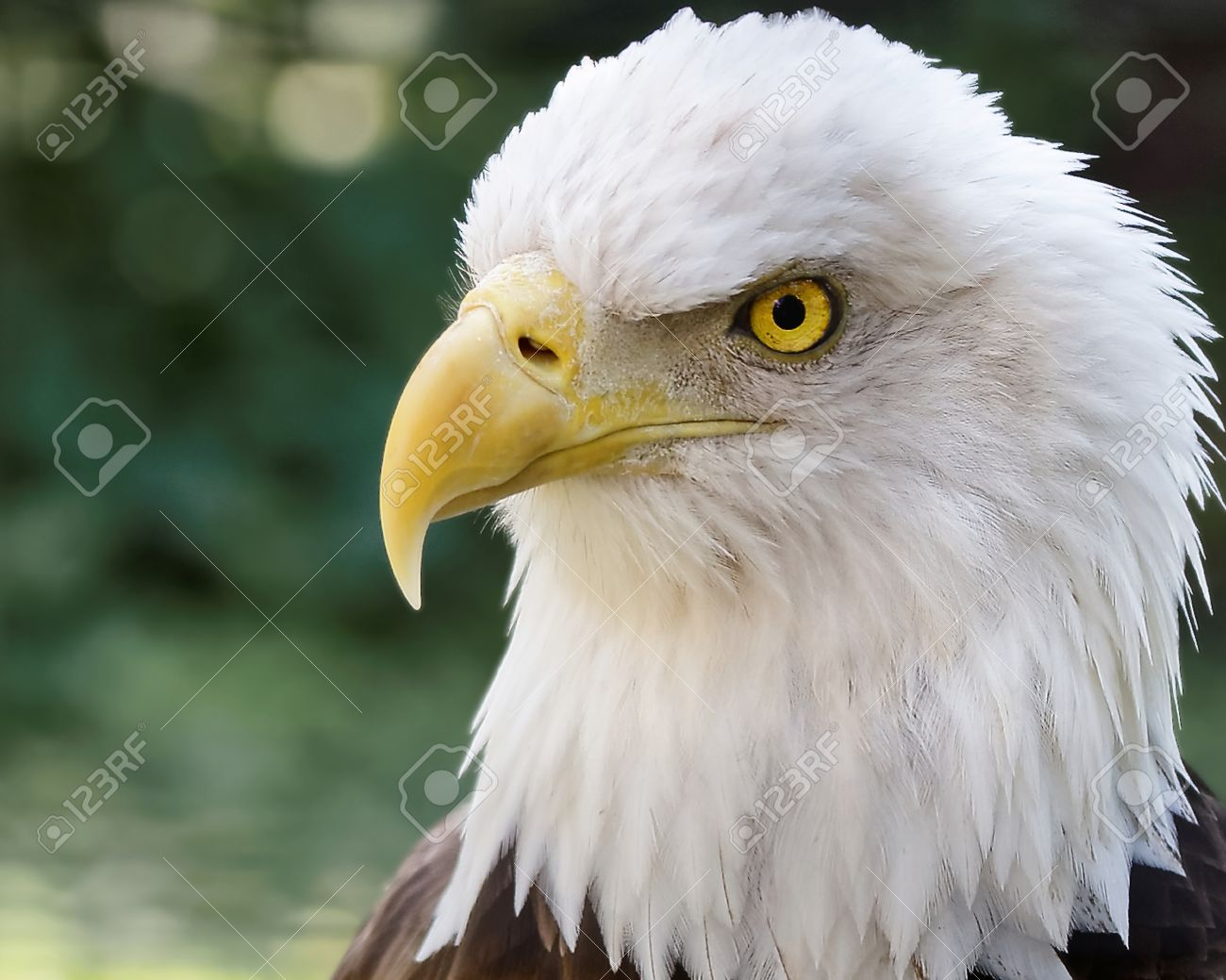 Head Of A Bald Eagle Wild North American Bird Of Prey With Stock Photo Picture And Royalty Free Image Image 39578301